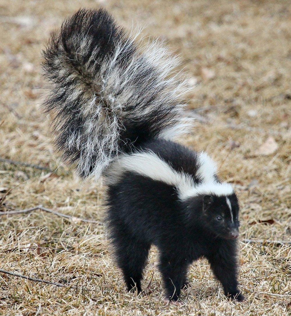 skunk-1239764_1280.jpg