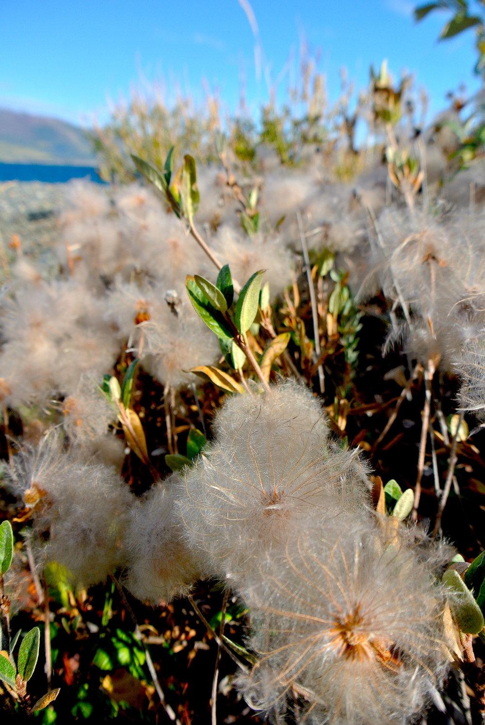 Fuzzy Plants near Congdon Creek Camp