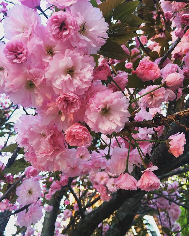 Pretty in Pink #cherryblossoms #springcolor #inbloom #floralcrush #natureinspired #inthegarden #boywonderdesign