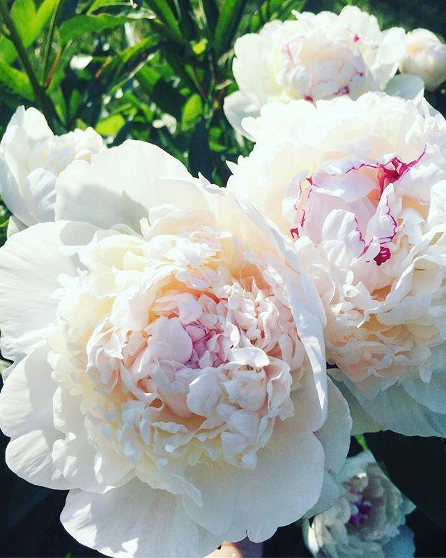 'Festiva Maxima' Peony #juneblooms #peonyseason #gardenfavorites #floral #festivamaxima