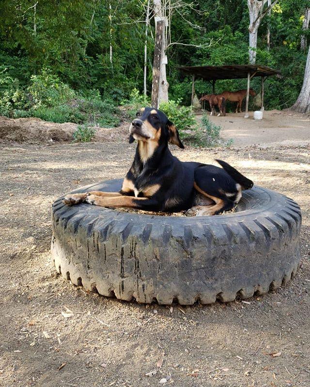Diego just chillin out 😎 #discoveryhorsetours #farmdog #chillin #farm #horsetours #costarica #jaco #nature #dog