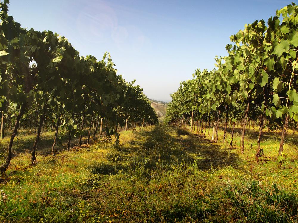 Guarini-Matteucci-vini-wine-Castelfalcino-Vigna-coltivazione.png