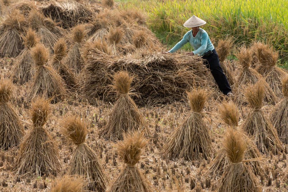 Guillin Harvest