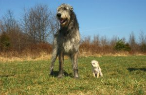 Irish Wolfhound[1]