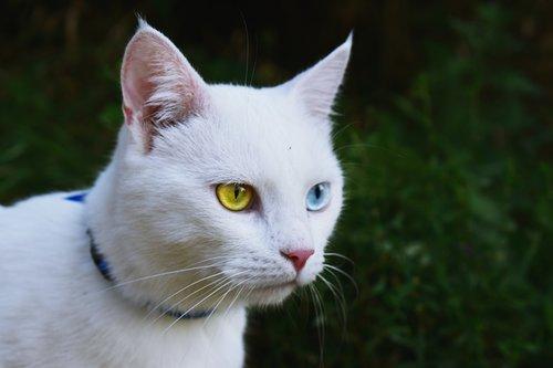 CAT Heterochromia iridium .jpg