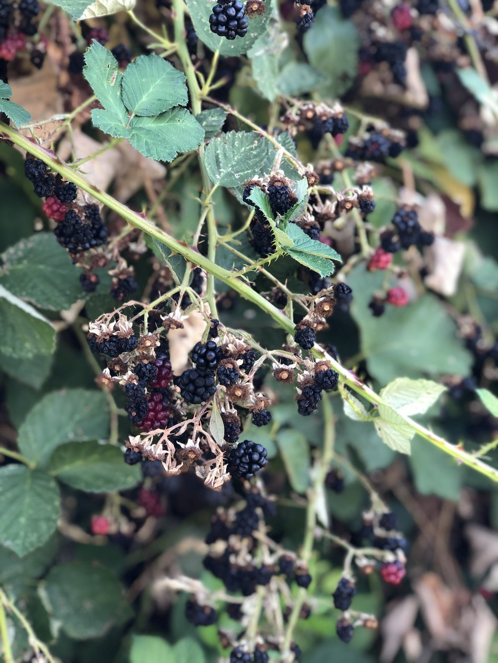 Wild Blackberries, Williams, OR