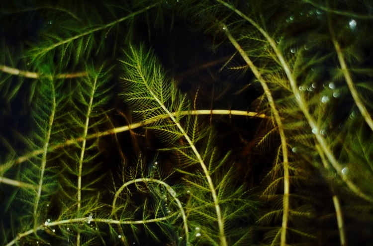 Invasive Species: - -Carp-Zebra Mussels-Eurasian Milfoil-Curly Pond Leaf