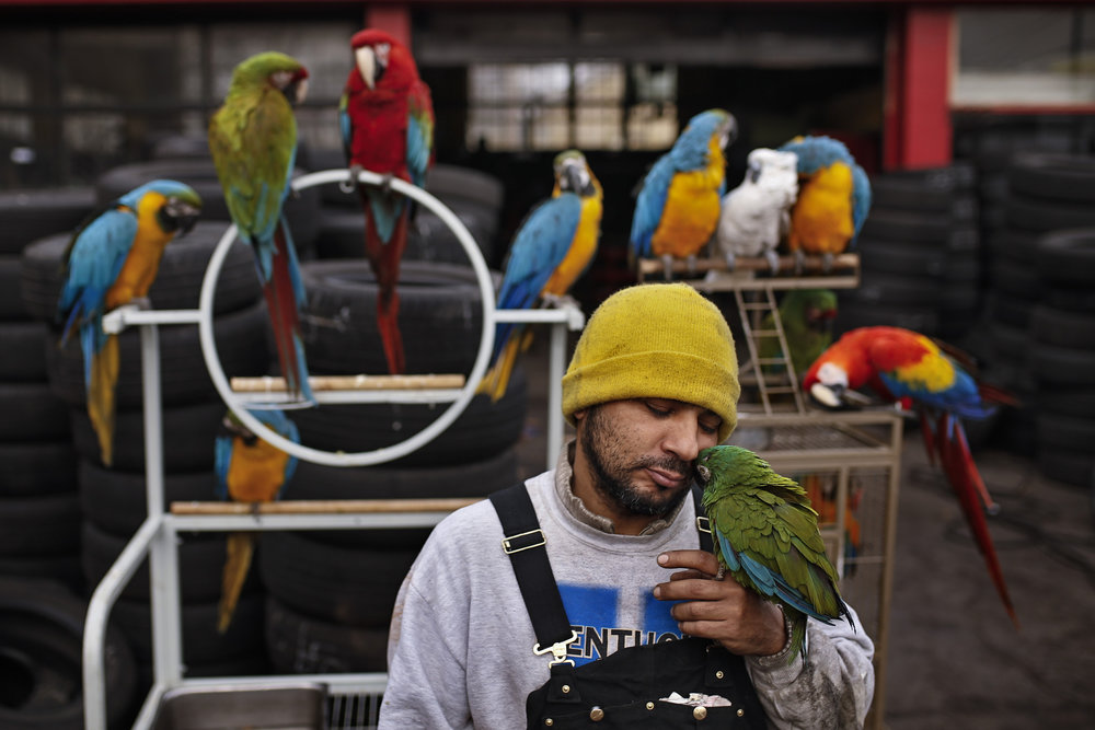"South Fourth Street tire shop owner Safaa Alzohairi, 43, first became infatuated with birds as a young man growing up in southern Iraq. ""I had parakeets and pigeons,"" Alzohairi said. ""I look at the birds and it makes me happy. If you pay attention, the will clear your mind."" Today, passerbys are often surprised to see the numerous brightly colored paradise birds scattered around atop the stacks of rubber tires. He currently has 12 macaws, 15 parakeets, four chickens and at least four other exotic birds living at his shop, where he also lives himself. Feb. 11, 2017"