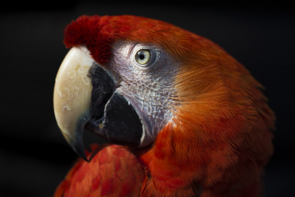 Mufasa, a scarlet macaw, sits in the evening light at Alzohairi's tire shop. Macaws can live up to 50 years and usually bond with their original owners for life and are aggressive towards anyone else. Feb. 11, 2017