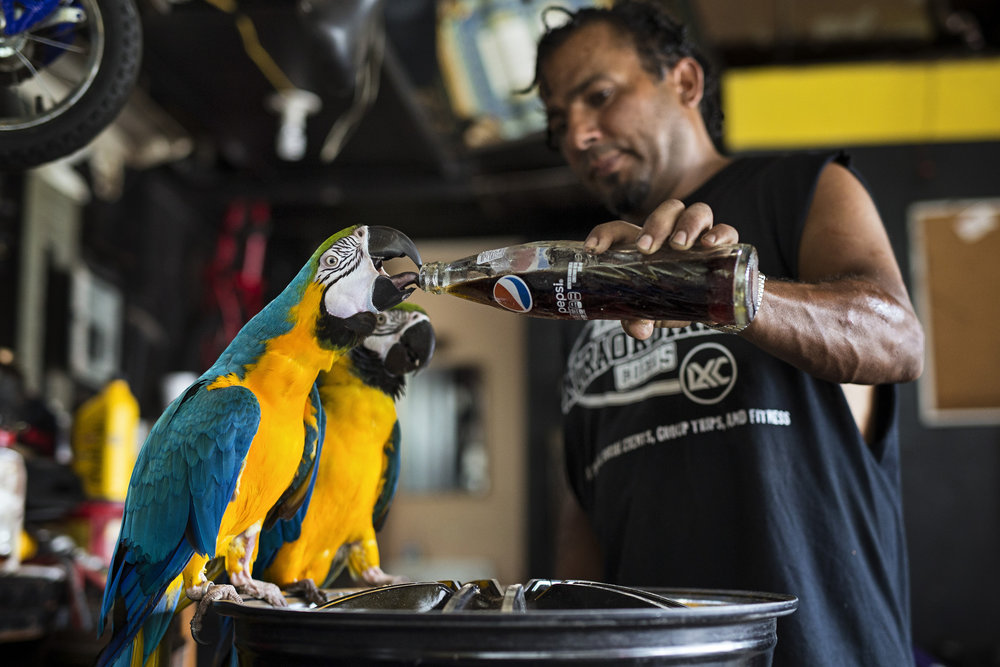 "Alzohairi shares a bit of Pepsi with his macaws Kyle and Kelly inside at his tire shop. The bird owner lost two of his macaws when a customer accidentally drove over them in his parking lot. ""I told her to wait, but she didn't listen,"" Alzohairi said. ""I was praying to god that my heart wouldn't stop. I was asking God to help me."" June 29, 2017"