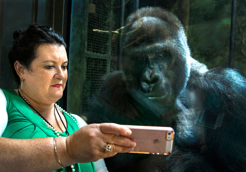 Kyle Shepherd, Media and Public Relations Manager for the Louisville zoo played a video on her phone for Jelani, a silverback gorilla at the zoo. Jelani, unlike the other gorillas Jelani is fascinated by cell phones. June 14, 2017.