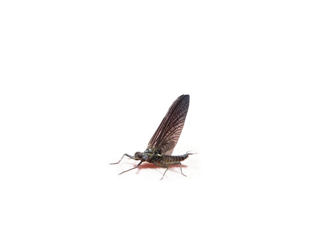 Green Drake Dry Fly Gunnison