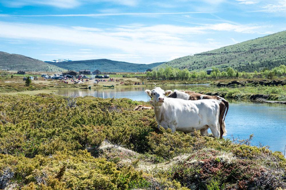 Finndalen har fortsatt aktiv seterdrift, og mange dyr slippes på beite hver sommer.