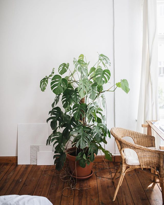 A giant monstera at @acanthusmagazine's home #plantstory #monstera