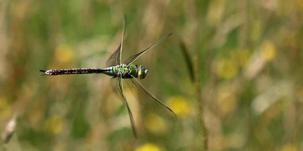 Emperor dragonfly (Chris Harris)