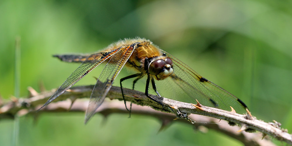 Four-spotted chaser dragonfly (Chris Harris)