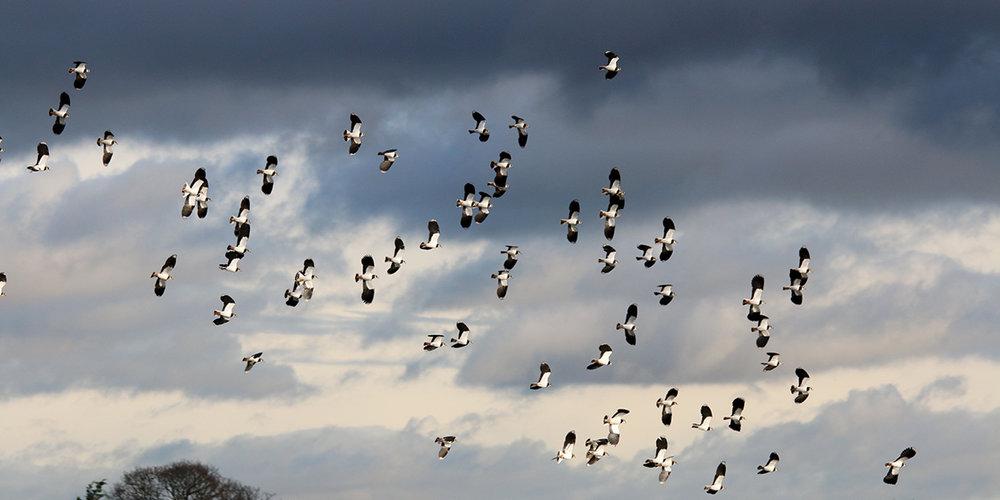 Lapwings, Newport Wetlands