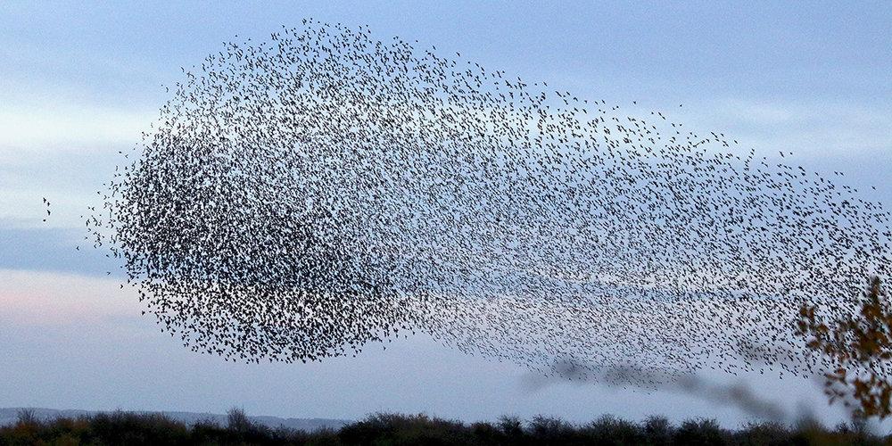 Starling murmuration, Newport Wetlands (Chris Harris)