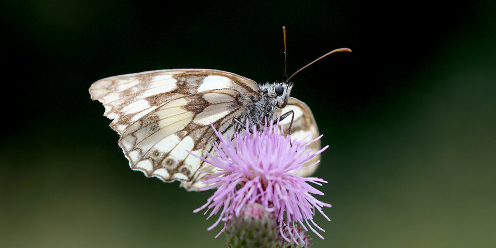 Marbled White Butterfly, Great Traston Meadow (Chris Harris)