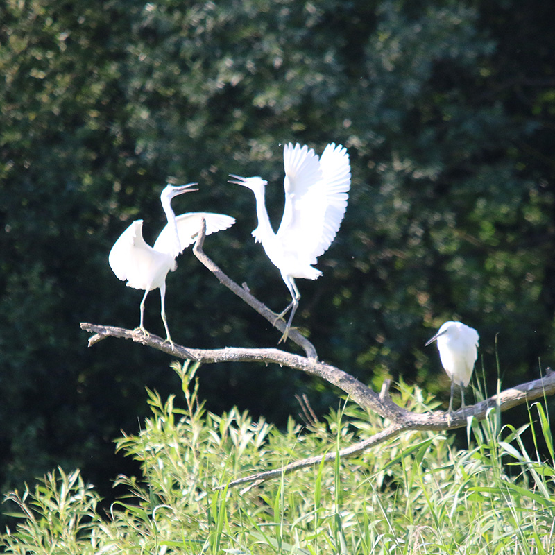 Little egrets roosting (Chris Harris)