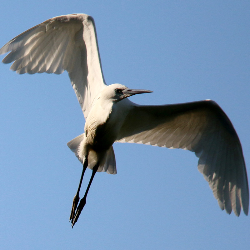 Little egret in flight (Chris Harris)