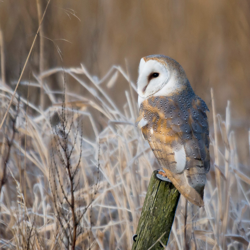 Barn owl (John Bridges, RSPB-images.com)