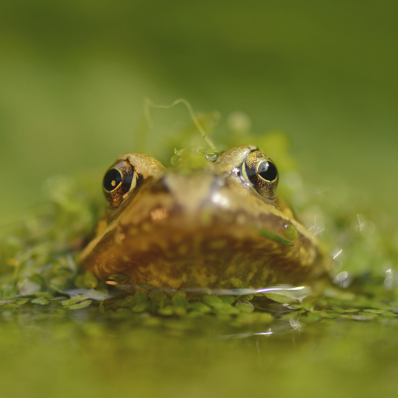 Common frog (Ben Andrew, RSPB-images.com)
