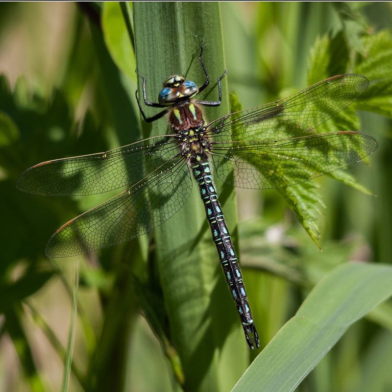 Hairy dragonfly, male (Tonums)