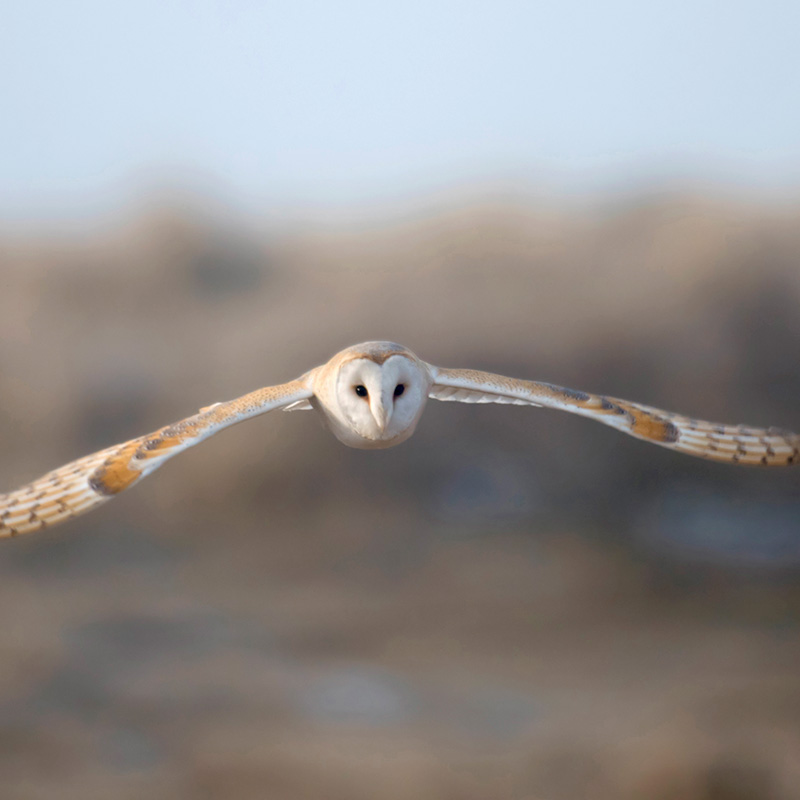 Barn owl in flight (John Bridges, RSPB-images.com)