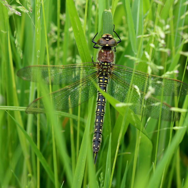 Hairy dragonfly, female (Chris Harris)