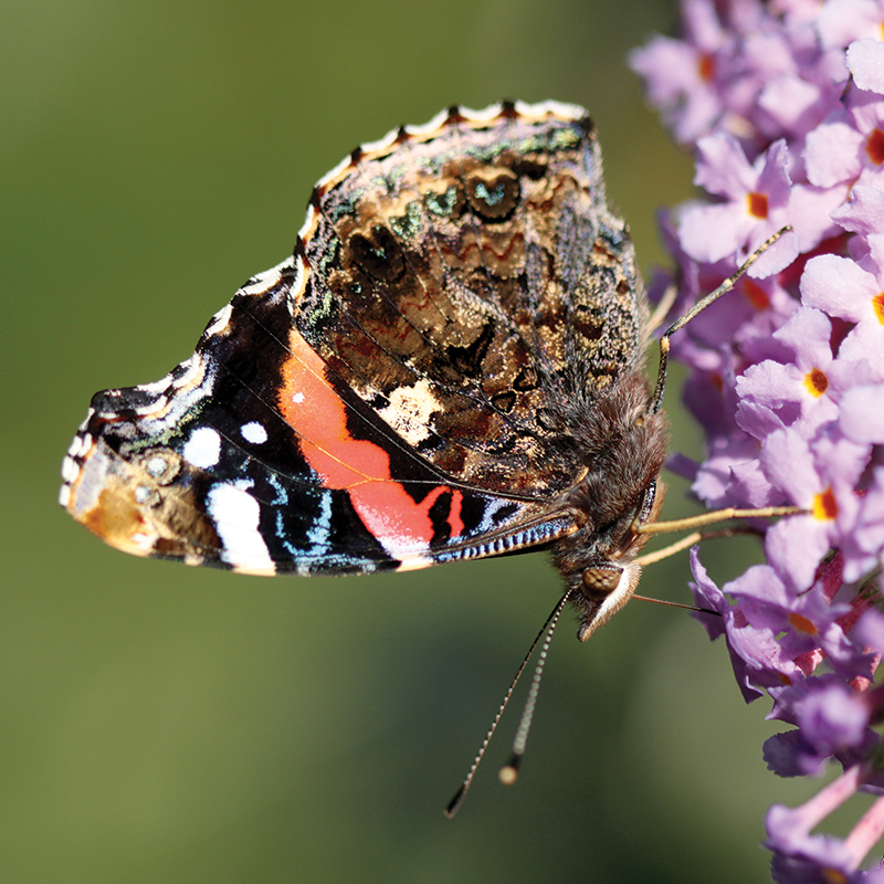 Red admiral (Chris Harris)