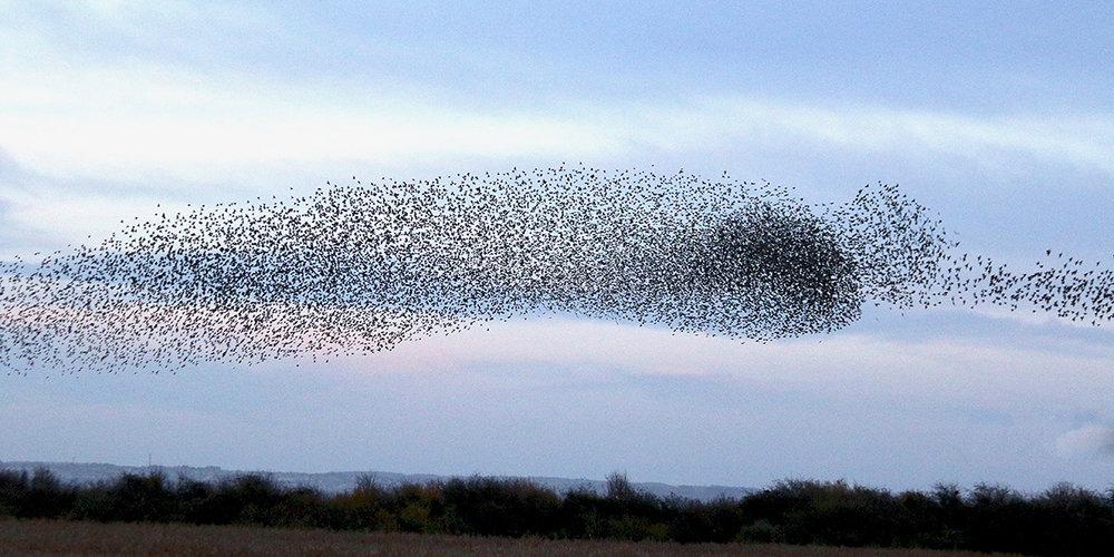 Starling murmuration, Newport Wetlands