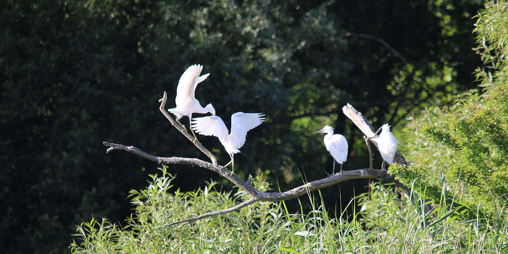Little egrets, Magor Marsh