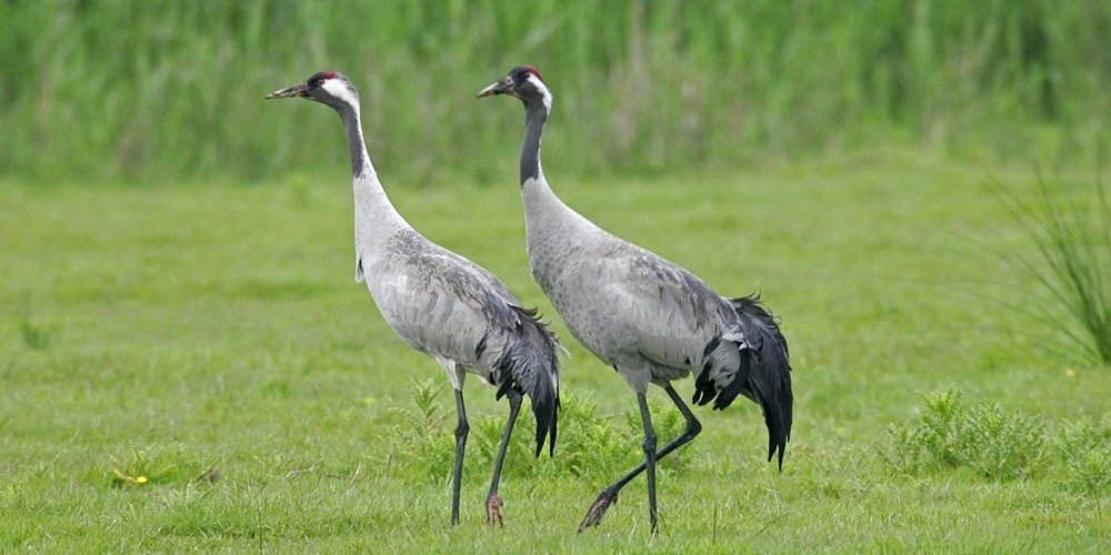 Common crane (Andy Hay (rspb-images.com))