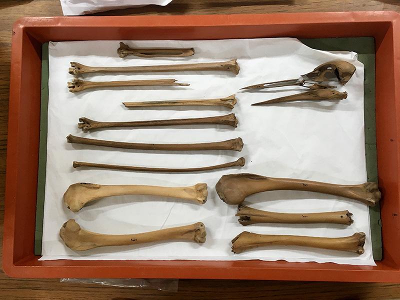Crane bones from Roman Caerleon, c. 200 AD (Chris Harris)