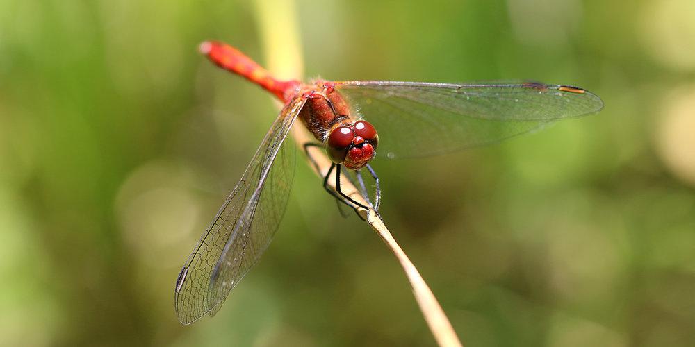 Ruddy Darter dragonfly (Chris Harris)