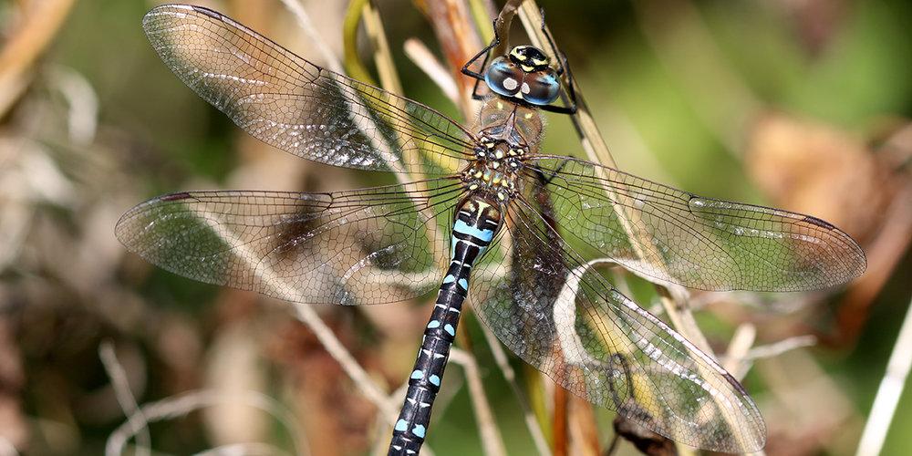 Migrant Hawker dragonfly (Chris Harris)