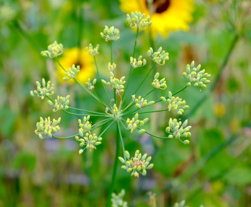 fennelflowers.jpg