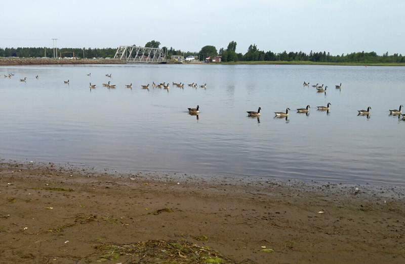 Canada geese, cooling off. :)