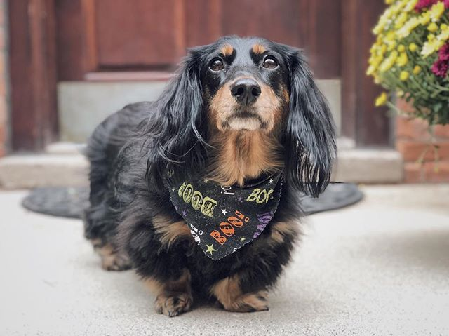 Just a boo-tiful little hallo-weenie to get your Monday started off right. This little nugget is ready for her closeup tomorrow with @nikimariephoto during our engagement shoot!  No doubt she'll be the 🌟 of the show. 👻🐶🎃 . . . . . #dssentials #dachshund #dachshundsofinstagram #minidachshund #doxie #doxiesofinstagram #bestwoof #october #dachshundoftheday #doxielove #doxieindetroit #instadog #puppyoftheday #autumn #fall #cutepetclub #dachshund #dog #weeklyfluff #dachshunds #petsmart #caninetofive #sausagedog #halloweenie #longhaireddachshund #sadie