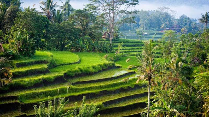 rice-fields-bali_tegallalang-rice-fields.jpg