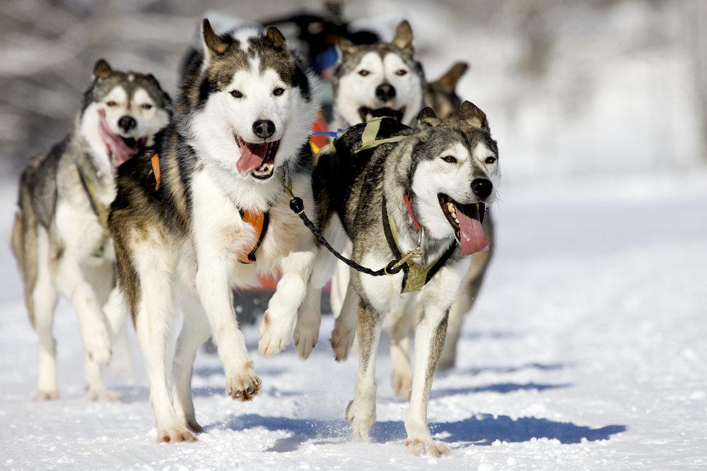 bigstock-Husky-Race-5334529.jpg
