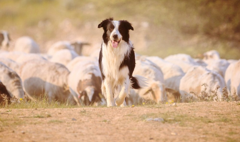 Meet Jude - pawberry's herding pup