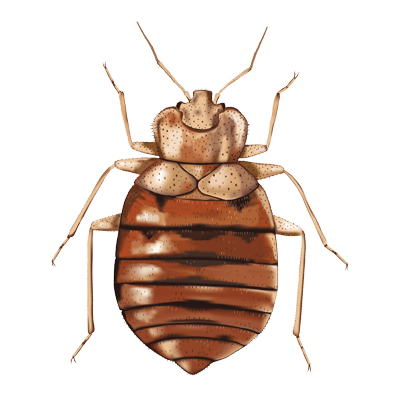 Copy of Bed Bugs