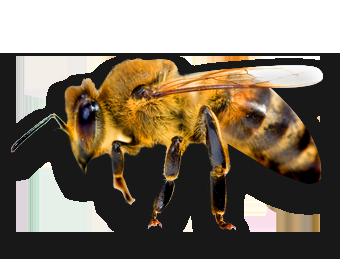 Copy of Copy of Copy of Copy of Bees