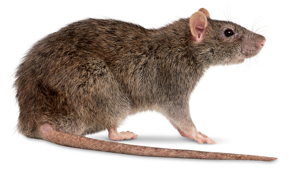 Copy of Rodents