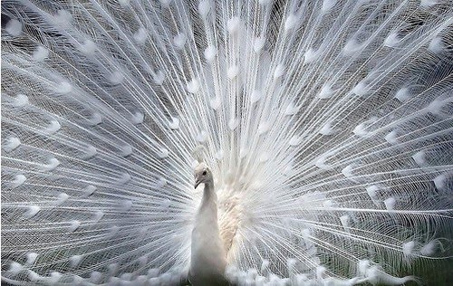 bird-birds-nature-wildlife-peacock.jpg
