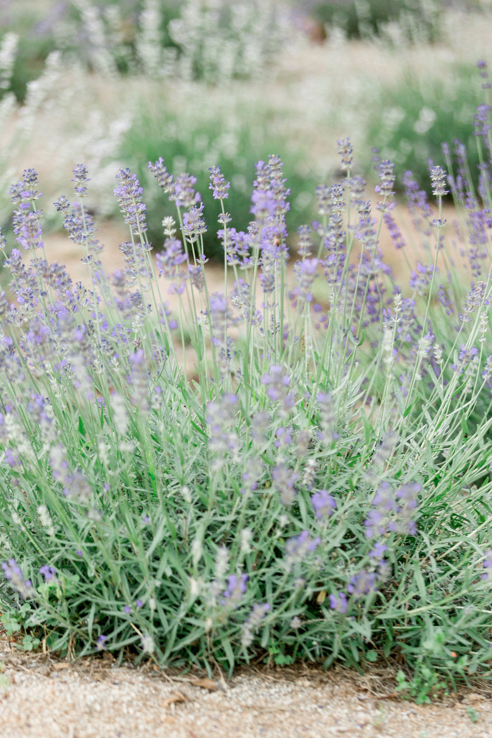 bywater-hollow-lavendar-farm-engagement-photography (59 of 155).jpg