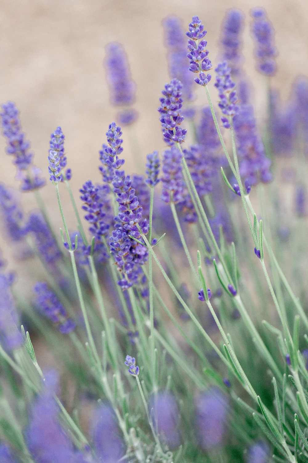 bywater-hollow-lavendar-farm-engagement-photography (153 of 155).jpg