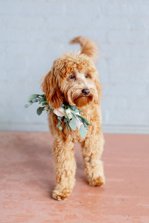 golden-doodle-puppy-is-ring-bearer.jpg